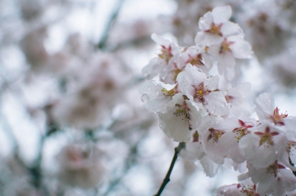 Photo of wet Cherry Blossoms