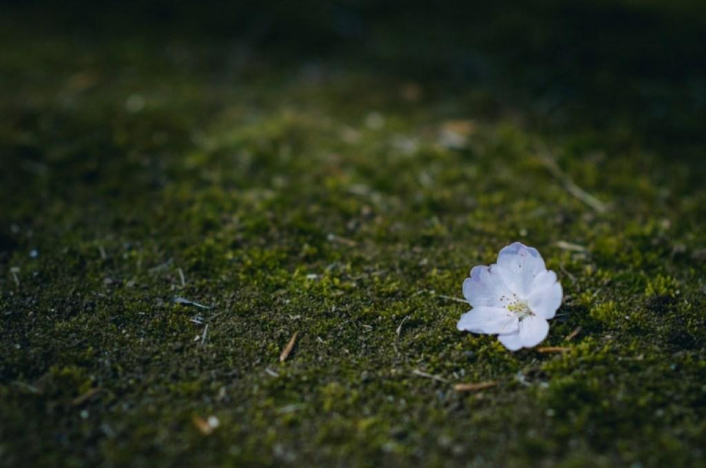 Photo of single cherry blossom