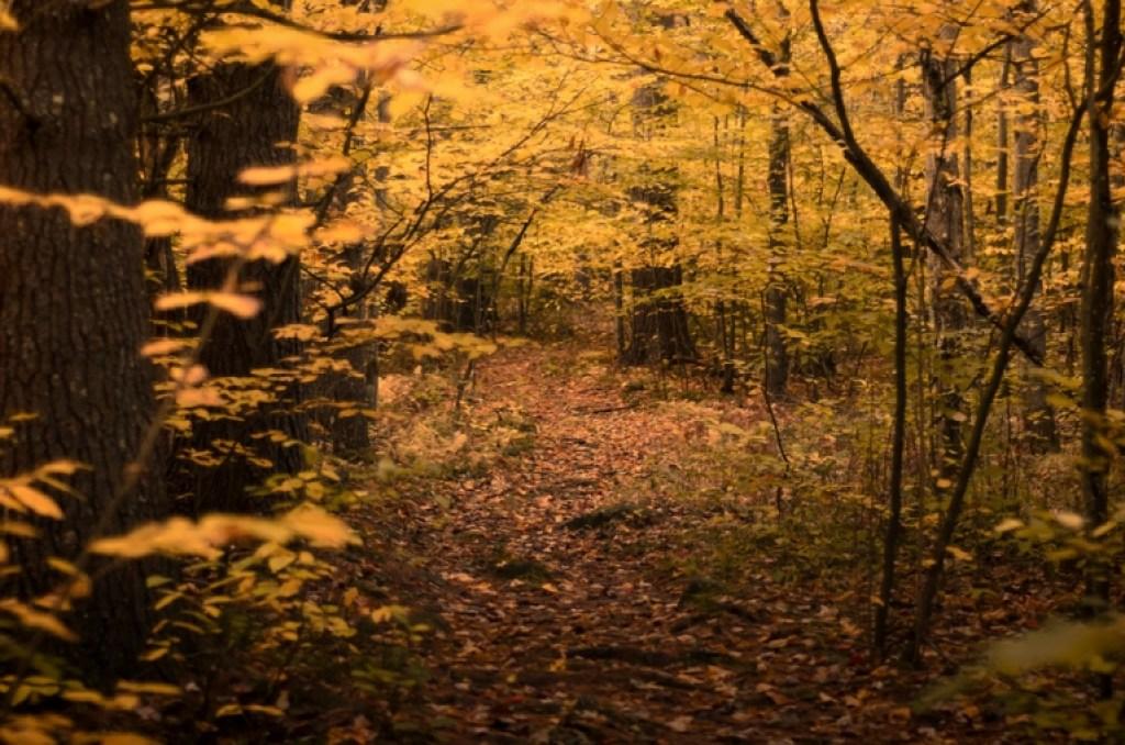 Golden Autumn Woods