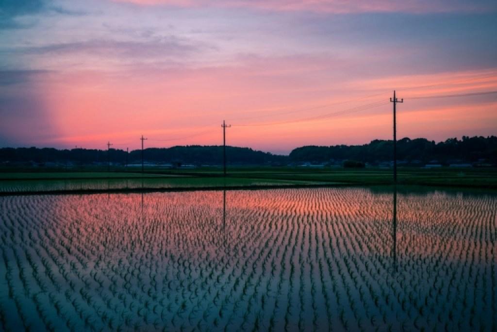 rice fields in Japan
