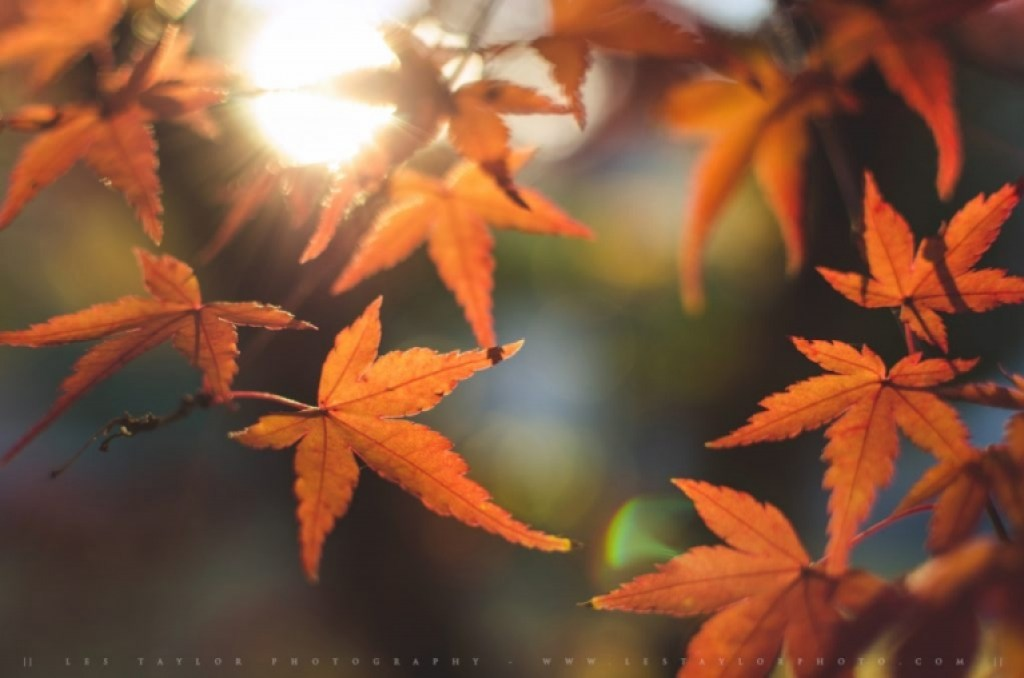 Orange autumn leaves photograph