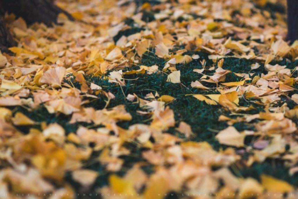Fallen Ginkgo Leaves In Tokyo