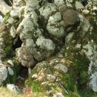 Hêtre de Tatarella, Venaco, Haute Corse, Yannick Morhan (25)