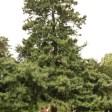 Pin de l'Hymalaya planté en 1844 Jardin des plantes de Paris (19)