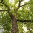 Quercus macrocarpa Jardin des plantes de Paris (14)