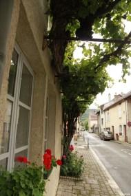 Vigne d'Arbois, Franche Comté, Yannick Morhan (44)