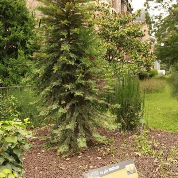 Wollemia planté en 1994, Jardin des plantes de Paris (1)