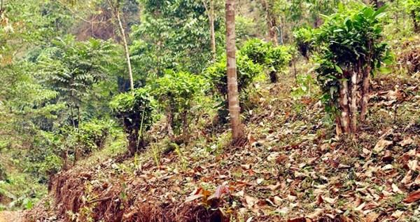 Culture du thé dans les forêts de montagne du nord de la Thailande