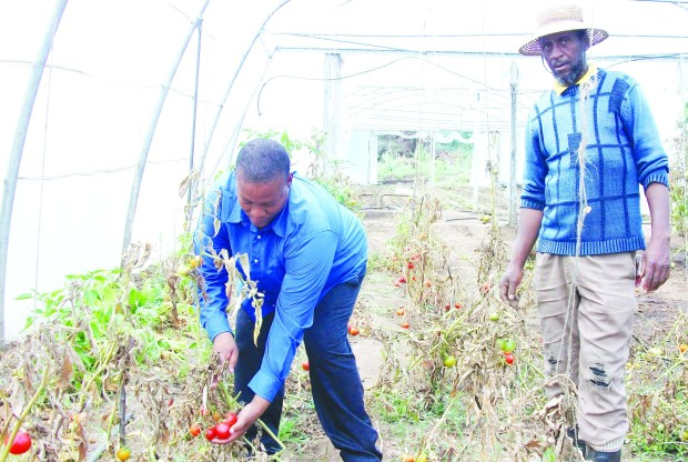 Telle school principal Mr Mothae and the school gardener Mr Tsietsi Phafoli harvest some tomatoes grown in one of the greenhouses donated by WFP