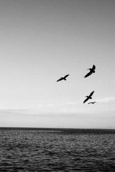 pelican à valparaiso voyage au chili
