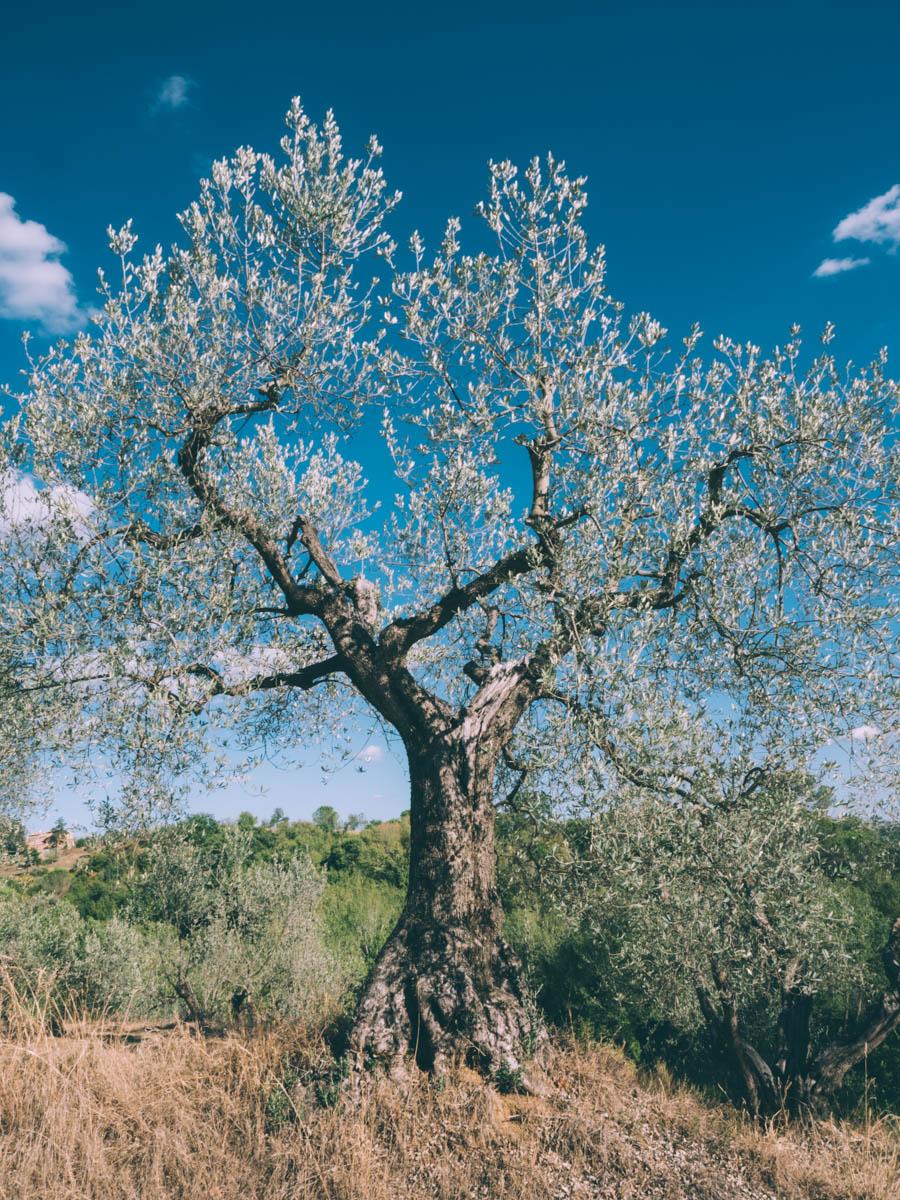 vieil olivier lors d'un road trip en toscane
