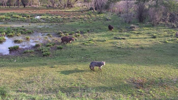 capybaras et renard gris