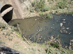 et l'eau des égouts se retrouvent dans la réserve d'eau où les bœufs viennent se rafraîchir!