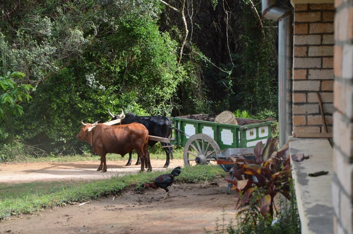 Les bœufs du centre avec leur charette