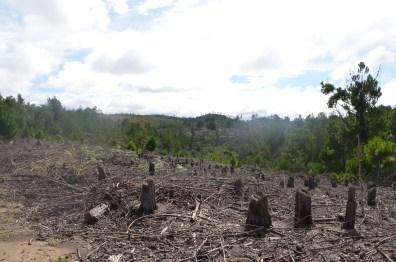 les arbres abattus