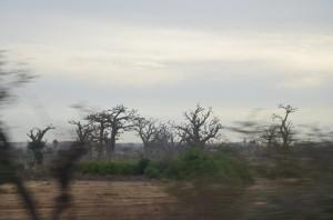 Les baobabs