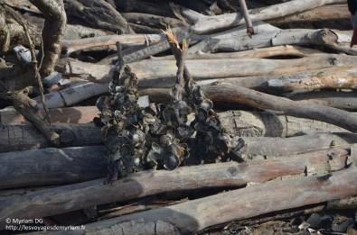 On coupe la racines où se trouve les bonnes huitres