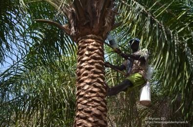 Le vin de palme est récupéré grâce à des entonnoirs naturel