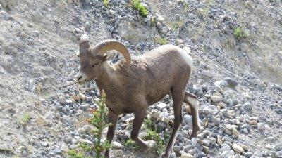 Mouflons sur la route des Glaciers - Rocheuses canadiennes
