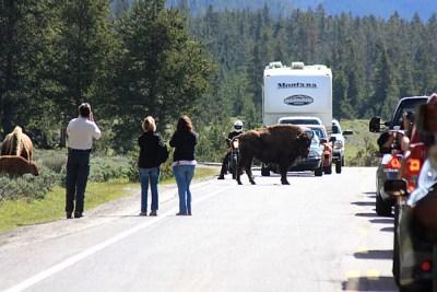 Les bouchons causés par la traversée des bisons dans le parc de Yellowstone - USA