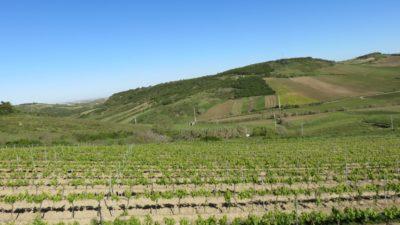 Des vignobles entre Peniche et Sintra