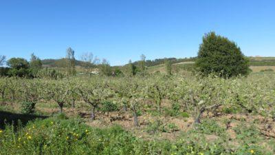 Des arbres fruitiers entre Peniche et Sintra