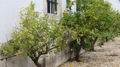 Citronniers dans les jardins du palais ducal