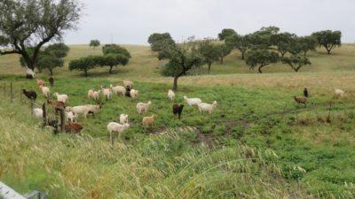 Moutons sur la route vers Mourao