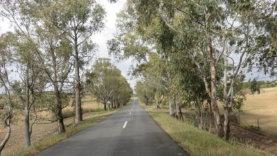 Eucalyptus sur la route entre Mertola et Monchique