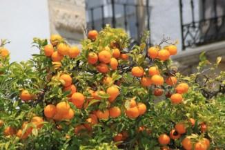 Orangers à Faro