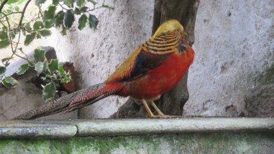 Faisan dans les jardins d'Isola Madre (îles Borromées)