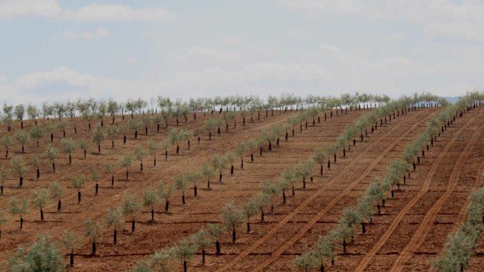 Des champs d'oliviers entre Malaga et Cordoue