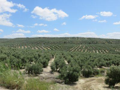Champs d'oliviers entre Cordoue et Baeza