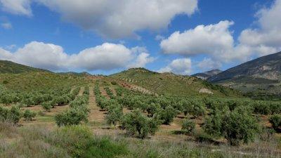 Champs d'oliviers sur la route entre Ubeda et Grenade