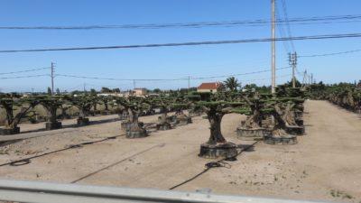Des oliviers-bonzai sur le bord de la route