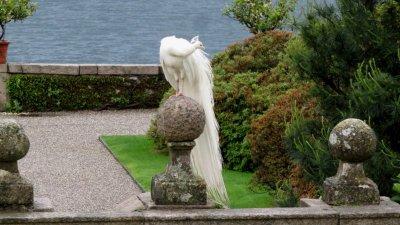 Paon blanc dans les jardins d' Isola Bella (îles Borromées)