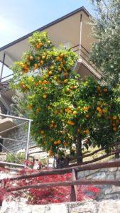 Des orangers sur Monte Isola