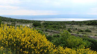 Les genêts le long de la route vers Merag, l'embarcadère pour l'île de Krk (Croatie)