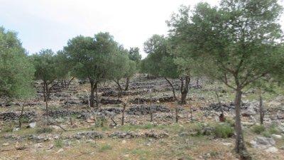 Les champs d'oliviers entre les murs de pierre sur l'île de Cres (Croatie)