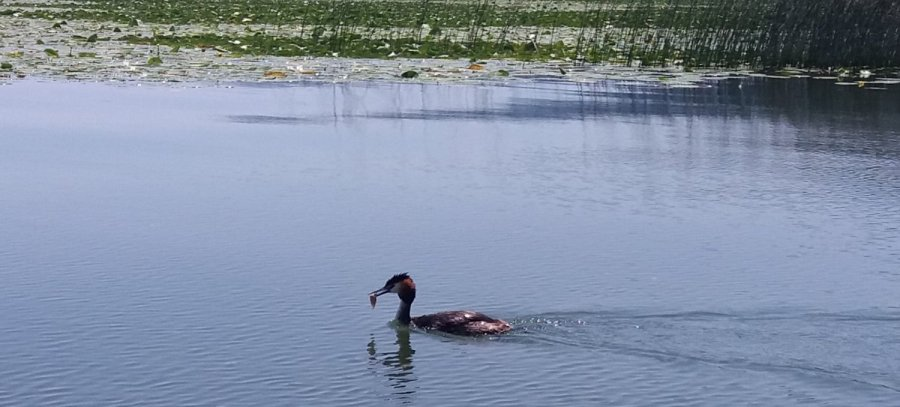 cormoran sur le lac Skadar - Monténégro