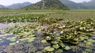Nénuphars sur le lac Skadar - Monténégro