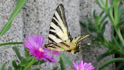 Joli papillon - Skradin (Croatie)