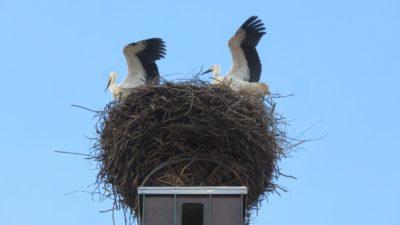 Un nid de cigognes sur le toit de l'église - Zusmarshausen (Allemagne)