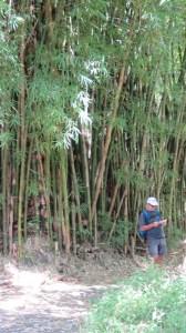 Bambous de la Réunion