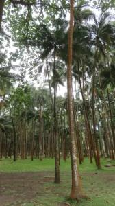 Forêt de palmiers dans l'Anse des cascades - Réunion