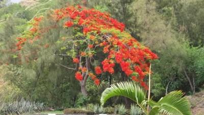 Flamboyant - La Montagne (Réunion)