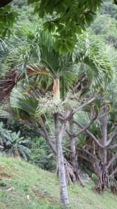 Palmier - Réunion