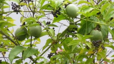 Pomme Jacot