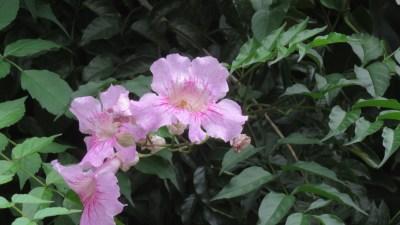 Fleurs sauvages - le Parc du Colorado (Réunion)