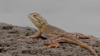 L'Agame des Colons (caméléon) - Réunion
